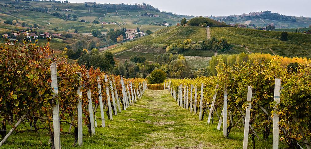 un vitigno di arneis nella bassa collina