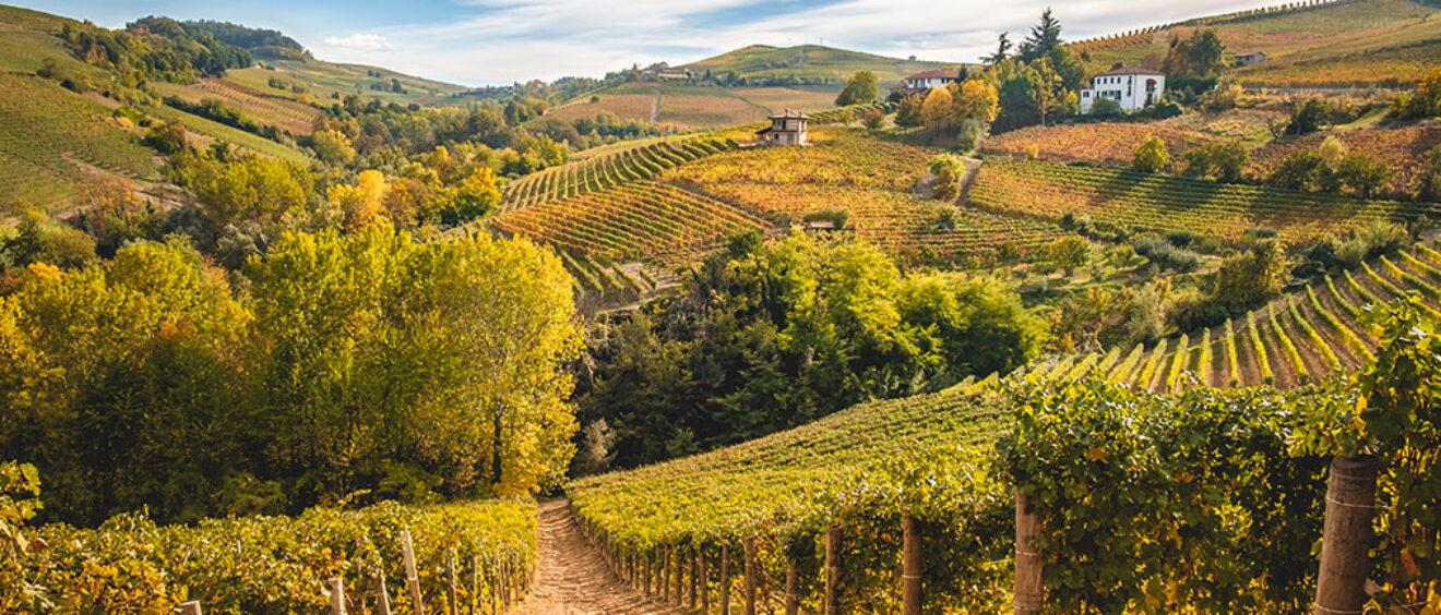 un campo di vitigno arneis