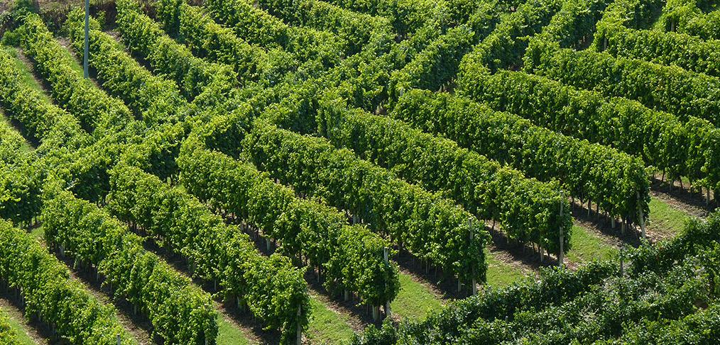 vigne per i vini rossi piemontesi