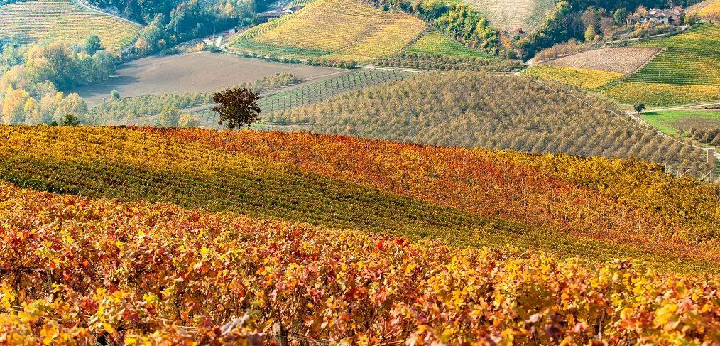 vigneto in autunno nel roero